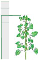 Image du plant
